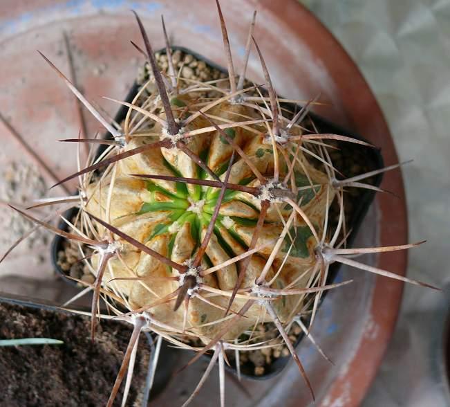 spinnmilben am kaktus jedes jahr dasselbe. Black Bedroom Furniture Sets. Home Design Ideas