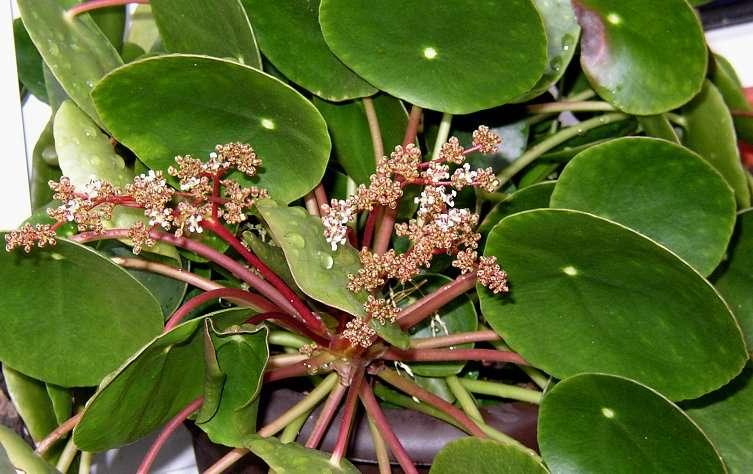 unbekannte zimmerpflanze schaut aus wie eine dotterblume pilea peperomioides. Black Bedroom Furniture Sets. Home Design Ideas